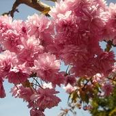 Różowe pomponiki