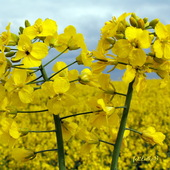 Słoneczne kwiaty   rzepaku.