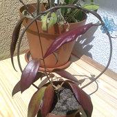 Spójrzcie jak cudnie się odbarwiają w słońcu listeczki hoi flavidy :)