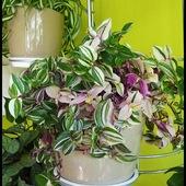 tradescantia tricolor rose
