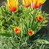 Tulipany-na dobry początek tygodnia.