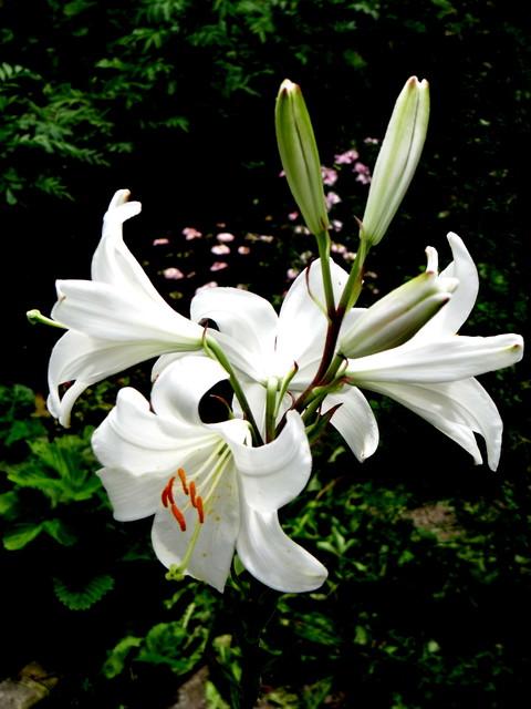 Biała Lilia