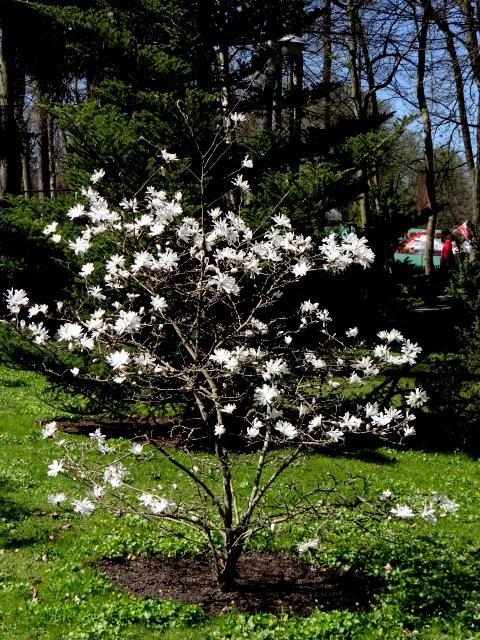Biała Magnolia.