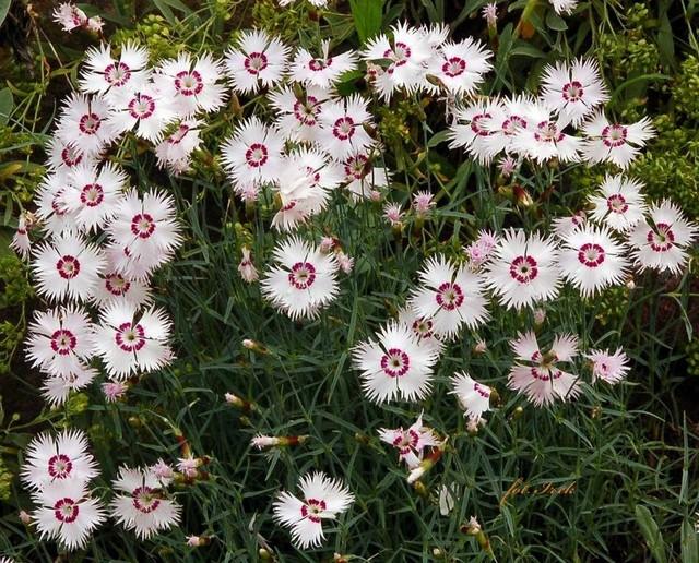 kwiatki na skalniaku