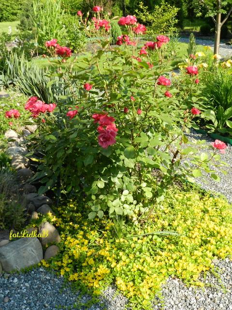 Róże w moim ogrodzie