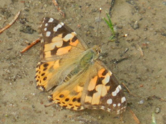 Motylek...