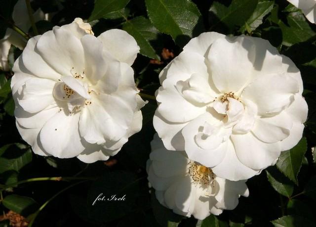 róże buietowe