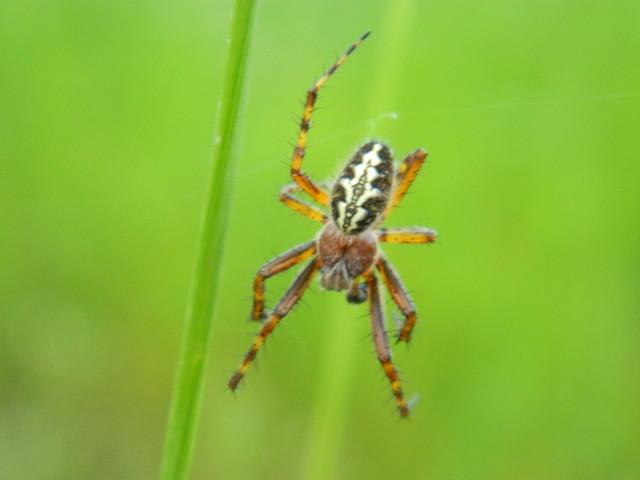 Taki oto pajączek.