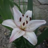 i lilie
