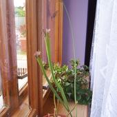 Kapturnica - Sarracenia leucophylla