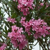 oleander