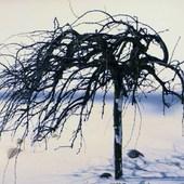 Krzew Akacji smagany wiatrem