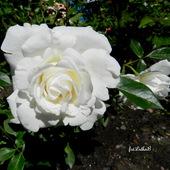 Kwitną róże .