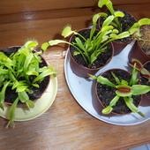Muchołówki amerykańskie - Dionaea muscipula