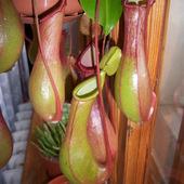 Nepenthes alata ssp.