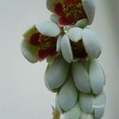 Pachyphytum 3