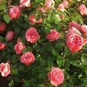 Róże na rynku w Serocku