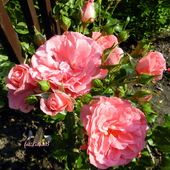 Róże w moim ogrodzie.