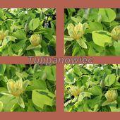 Tulipanowiec amerykański odm.\'Aureomarginatum\'