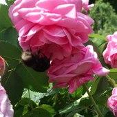 W gąszczu róż :)