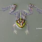 Żaba.
