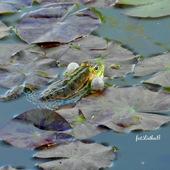 Żabka.