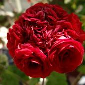 zamiast róży pelargonia