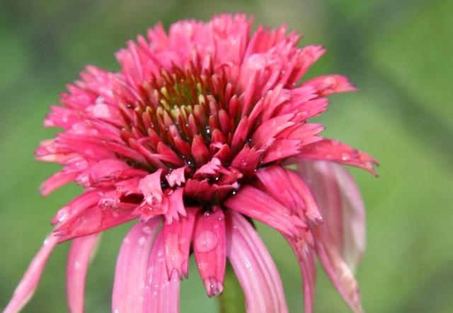 Jeżówka czerwona - pełna;-)