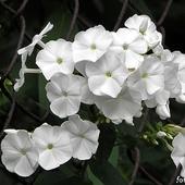 białe floksy