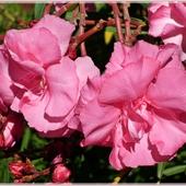 Drugi różowy...i pełny