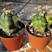 Dwa wcielenia Echinocactusa