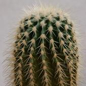 kaktus (uparty)