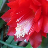 Kwiat Epiphyllum Ackermannii - makro.