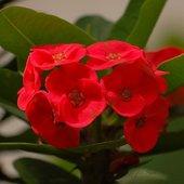 kwiat sukulenta