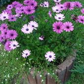 Kwitną od maja przed domem...