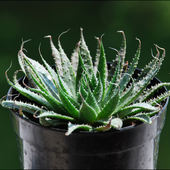 Aloes Arnista
