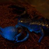 Pandinus imperator - Skorpion cesarski w ultrafiolecie