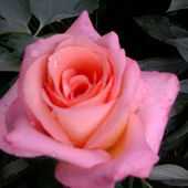 Róża ....