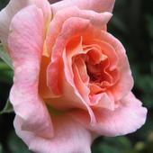 Róża oczątek kwitnienia