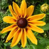 Słoneczna rudbekia.