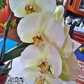 storczyk orchidea
