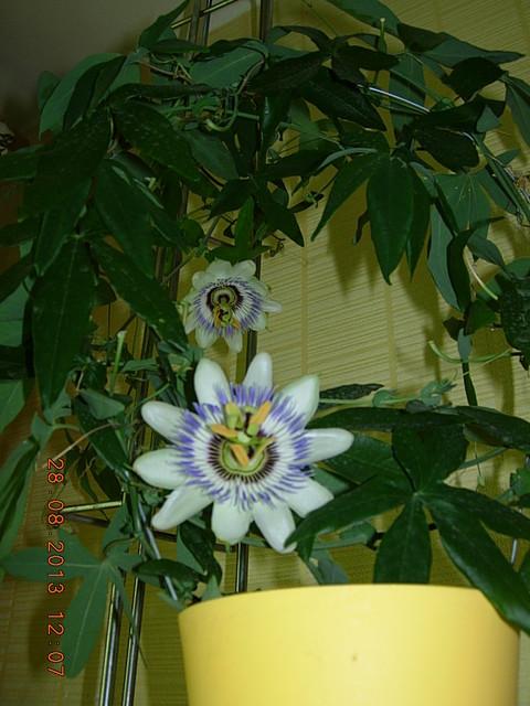 kwiat męczennicy ;)
