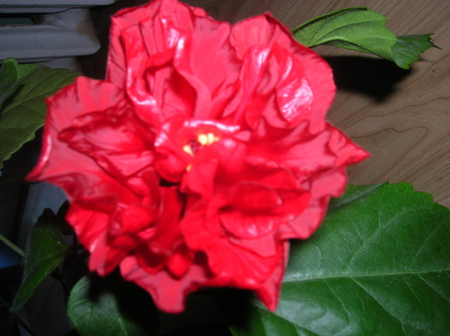 Róża hińska, hibiskus.