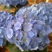 Błękitna piękność.