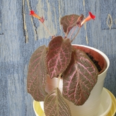Episcia  Country brilance....