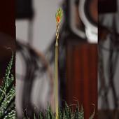 Kwitnienie Aloesa !