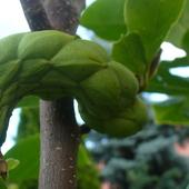 Magnolia czyżby to był owoc ?