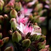 Pierwsze kwiatki rozchodnika