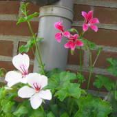 Pierwsze kwiaty pelargonii