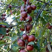 Rajskie jabłuszka.